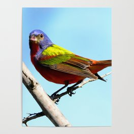 Male Painted Bunting Poster