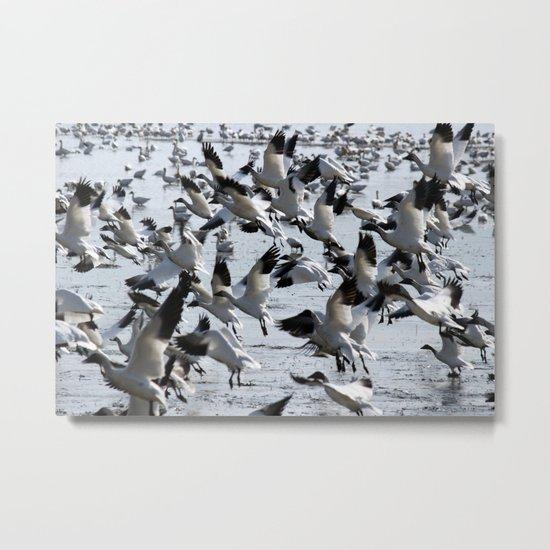 Oie des neiges - Snow Goose - ganso blanco Metal Print