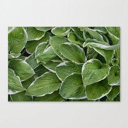 Hosta Leaves in the Rain Canvas Print