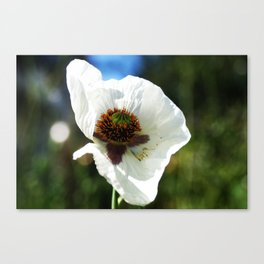 White Poppy in a field Canvas Print