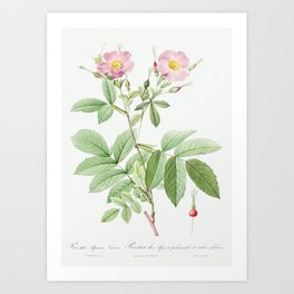 Alpine Rose, also known as Alpine Rose with Penduncle and Glaborous Calyx (Rosa alpina laevis) from Art Print