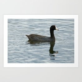 American Coot Reflecting on the Water - Photography Art Print