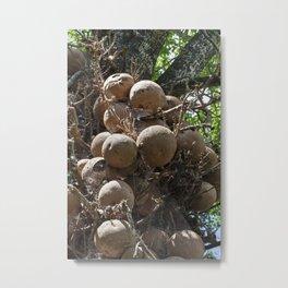 Cannonball Tree Fruit Metal Print