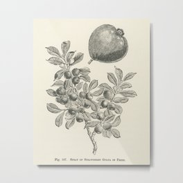 The fruit grower's guide  Vintage illustration of strawberry guava Metal Print