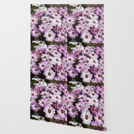Cineraria Pink Wallpaper