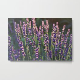 Beautiful backlit lavender plant flower heads Metal Print