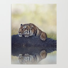 Bengal tiger resting on a rock near pond Poster