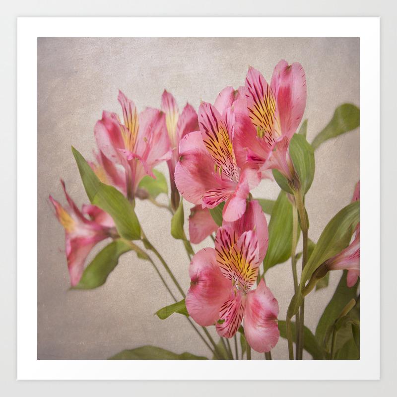 Pink Peruvian Lilies Alstroemeria Art Print By Daphsam Society6