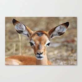 Very young Impala - Africa wildlife Canvas Print