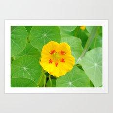 Yellow Nasturtium Art Print