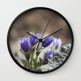 Cluster of Pasque Flowers Wall Clock