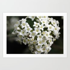 Snowball flower Art Print