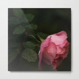 Pink rose. Raindrops on petals. Metal Print