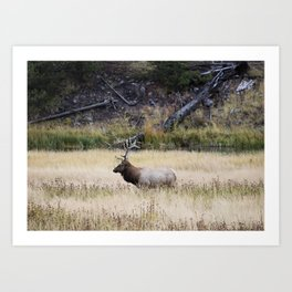 Bull elk in Yellowstone National Park in the northwest corner of the western state of Wyoming Art Print