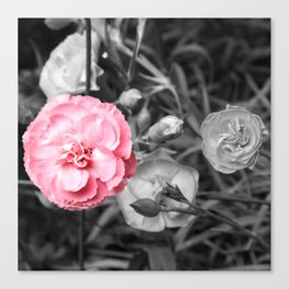 Single Pink Carnation Canvas Print