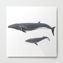 Sei whale (Balaenoptera borealis) Metal Print