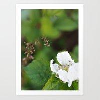 Blackberry Blooms Art Print