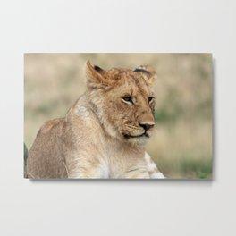 Lioness On The Masai Mara Kenya Metal Print
