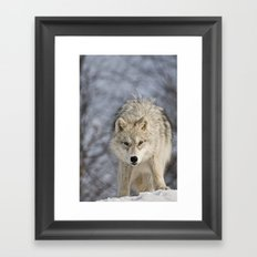 Young Arctic Wolf  Framed Art Print