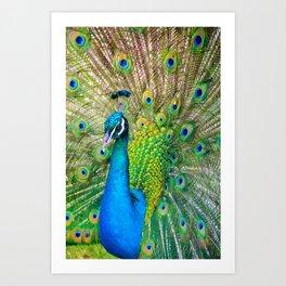 Beautiful Peacock (Color) Art Print
