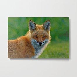 Red Fox Backlit Metal Print