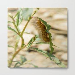 Buff Ermine Moth Caterpillar Metal Print