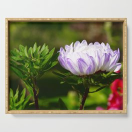 aster in the morning with water drops Serving Tray