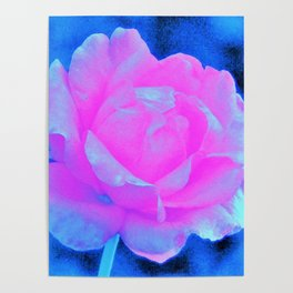 Beautiful Pastel Pink Rose with Blue Background Poster