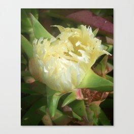 Iceplant Flower Canvas Print