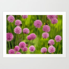 Bumble Bees on Pink Chives Art Print