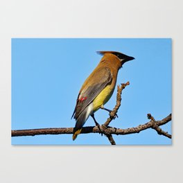 Cedar Waxwing on a Limb Canvas Print