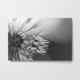 Raindrops on dandelion, black and white Metal Print