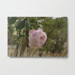 MME. PIERRE OGER, Old Rose Metal Print
