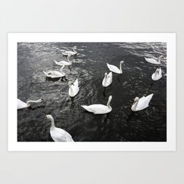 Swans in Prague Art Print