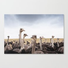 Ostriches Canvas Print