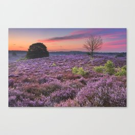 Blooming heather at dawn at the Posbank, The Netherlands Canvas Print