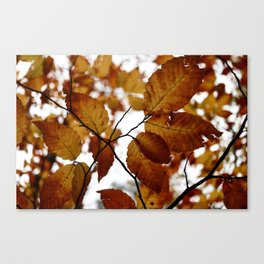 Beech Leaves Canvas Print