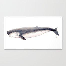 Pygmy sperm whale Canvas Print