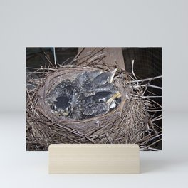 Baby robins in nest (fledglings) Mini Art Print