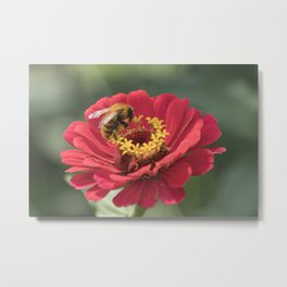 bee on zinnia in the garden Metal Print