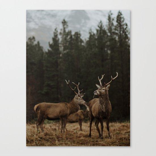 Deer. Scottish Highlands. Canvas Print