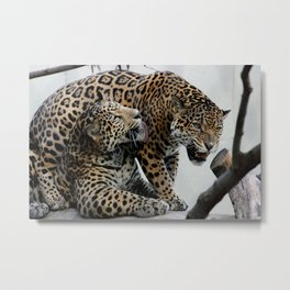 Jaguar Feud  Metal Print