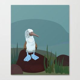 Blue-footed Booby in the wild. Canvas Print