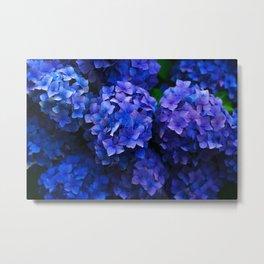 Royal Blue Hydrangea Flowers In Bloom Metal Print