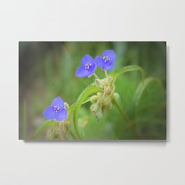 Virginia Spiderwort Metal Print