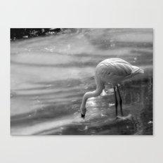 Flamingo, Fuerteventura. Canvas Print