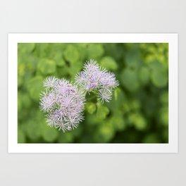 Lavender Mist Meadow Rue - Thalictrum rochebrunianum 7 Art Print