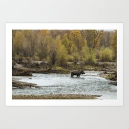 Moose Mid-Stream - Grand Tetons Art Print