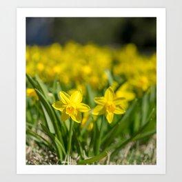 Tiny Daffodils Art Print
