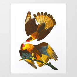 Caracara Eagle John James Audubon Vintage Scientific Birds of America Illustration Art Print
